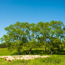 landscape sheep 5323 215x215 Landscape