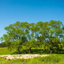 landscape-sheep-5323