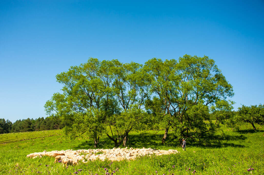 landscape-sheep-5323