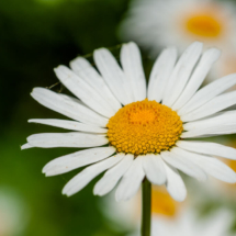 nature, bellis, stokrotka, -4358