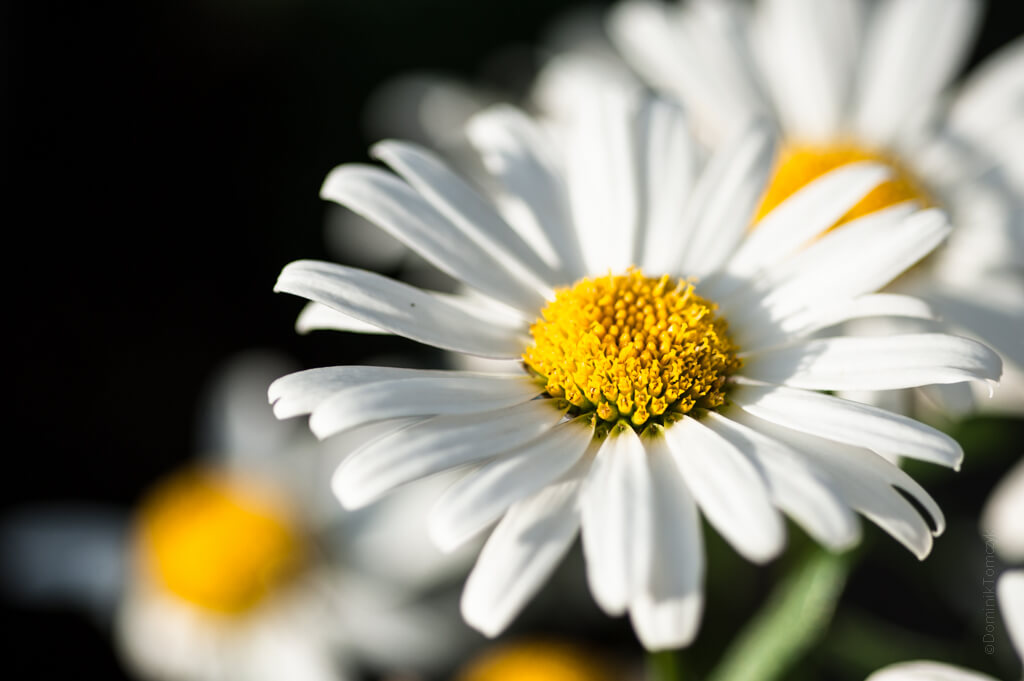 nature, bellis, stokrotka, -8040