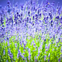nature lavender 8717 215x215 Nature