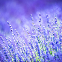 nature lavender 8732 215x215 Nature