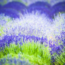 nature lavender 8779 215x215 Nature