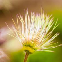 nature pulsatilla vulgaris sasanka zwyczajna 3673 215x215 Nature