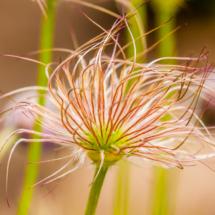 nature pulsatilla vulgaris sasanka zwyczajna 3674 215x215 Nature