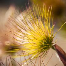 nature pulsatilla vulgaris sasanka zwyczajna 3925 215x215 Nature
