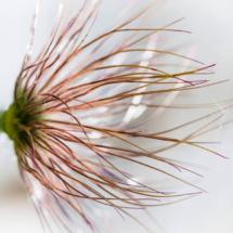 nature pulsatilla vulgaris sasanka zwyczajna 3930 215x215 Nature