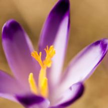 szafran krokus crocus saffron 9937 215x215 Nature
