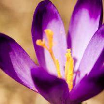 szafran krokus crocus saffron 9948 215x215 Nature