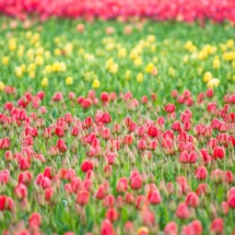 Nederland Tulips flowers bulbs a lot of beautiful colours Lisse Holland 0241 215x215 Nature