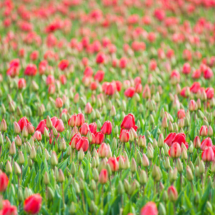 Nederland Tulips flowers bulbs a lot of beautiful colours Lisse Holland 0242 215x215 Nature