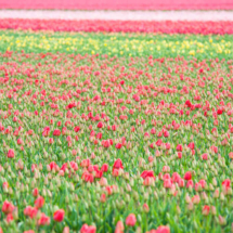 Nederland Tulips flowers bulbs a lot of beautiful colours Lisse Holland 0243 215x215 Nature