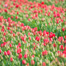 Nederland Tulips flowers bulbs a lot of beautiful colours Lisse Holland 0244 215x215 Nature