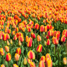 Nederland Tulips flowers bulbs a lot of beautiful colours Lisse Holland 0245 215x215 Nature