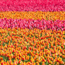 Nederland Tulips flowers bulbs a lot of beautiful colours Lisse Holland 0248 215x215 Nature