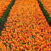 Nederland Tulips flowers bulbs a lot of beautiful colours Lisse Holland 0249 215x215 Landscape