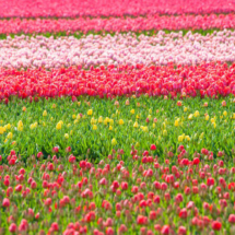 Nederland Tulips flowers bulbs a lot of beautiful colours Lisse Holland 0251 215x215 Nature