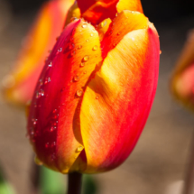 Nederland Tulips flowers bulbs a lot of beautiful colours Lisse Holland 0288 215x215 Nature