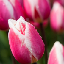 Nederland Tulips flowers bulbs a lot of beautiful colours Lisse Holland 0289 215x215 Nature