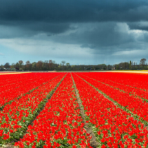 Nederland Tulips flowers bulbs a lot of beautiful colours Lisse Holland 80538 215x215 Landscape