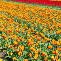 Nederland Tulips flowers bulbs a lot of beautiful colours Lisse Holland 80553 215x215 Landscape