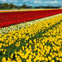 Nederland Tulips flowers bulbs a lot of beautiful colours Lisse Holland 80561 215x215 Landscape