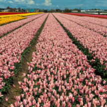 Nederland Tulips flowers bulbs a lot of beautiful colours Lisse Holland 80566 215x215 Landscape