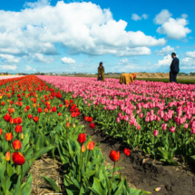 Nederland Tulips flowers bulbs a lot of beautiful colours Lisse Holland 80574 215x215 Landscape