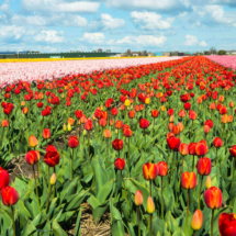 Nederland Tulips flowers bulbs a lot of beautiful colours Lisse Holland 80575 215x215 Landscape